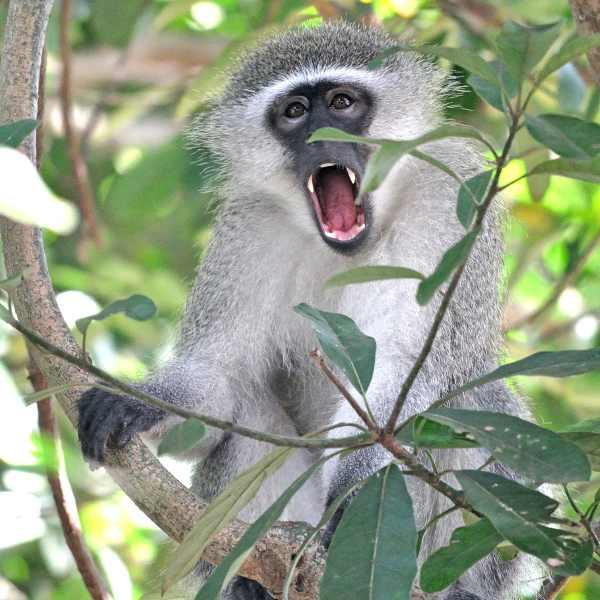vervet-monkey-2bkaribbean-01-01-17